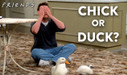 Play Chick or Duck